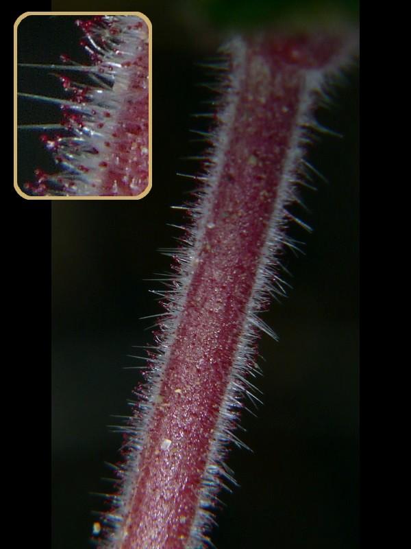 マルバフウロ 茎の毛