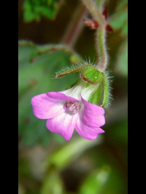 マルバフウロ 花