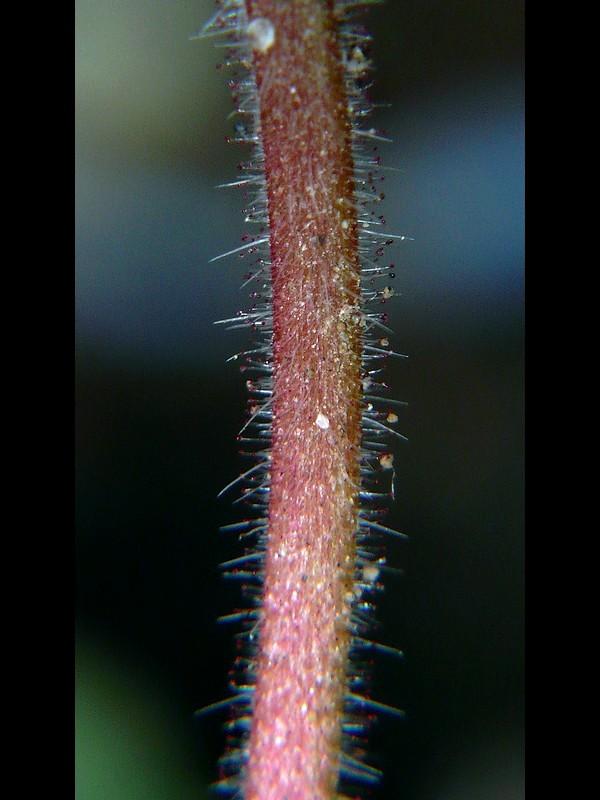 マルバフウロ 葉柄の毛