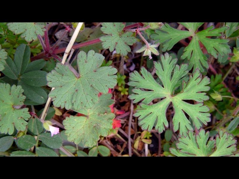 アメリカフウロ マルバフウロ 葉の比較