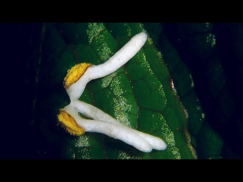 ヒトリシズカ 花のカチューシャ…