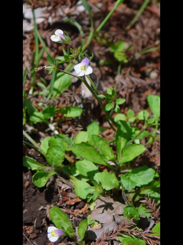 トキワハゼ 下唇が白く見える、立った花序を(も)持つ個体