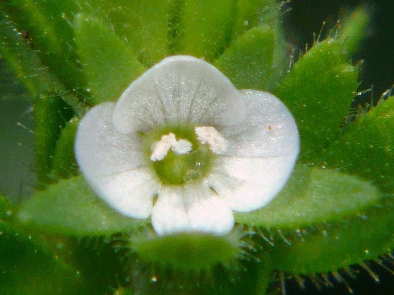 タチイヌノフグリ 白色の花