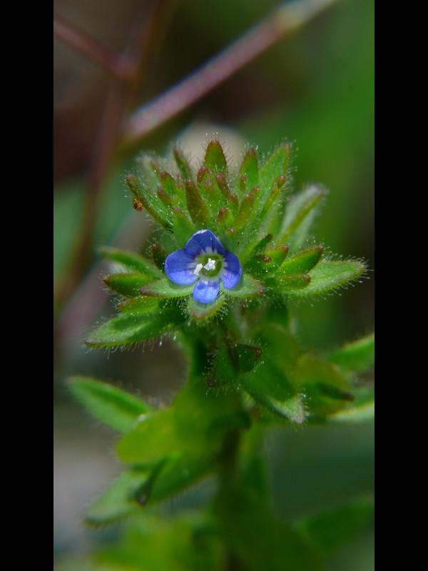タチイヌノフグリ 青花の全景