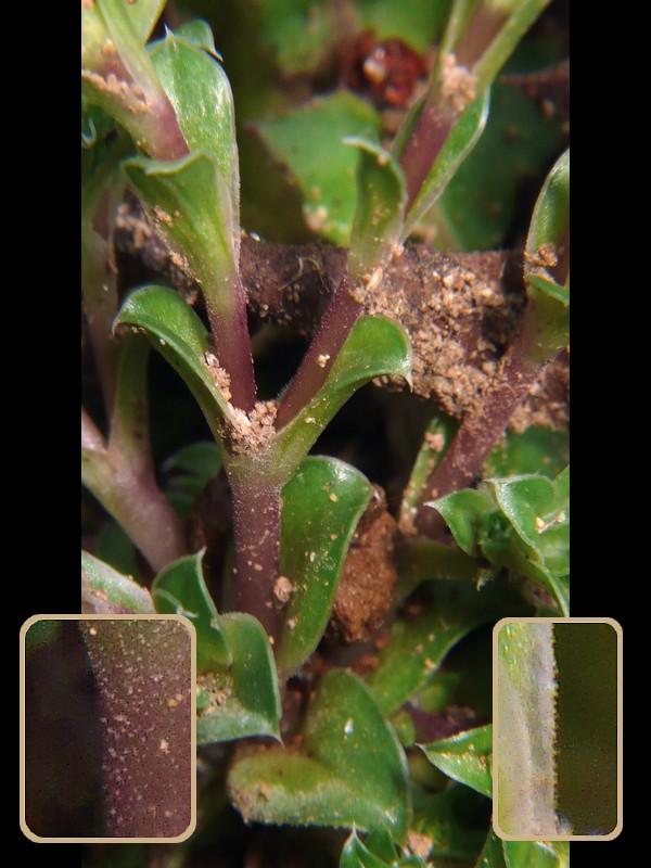 コケリンドウ 葉と茎