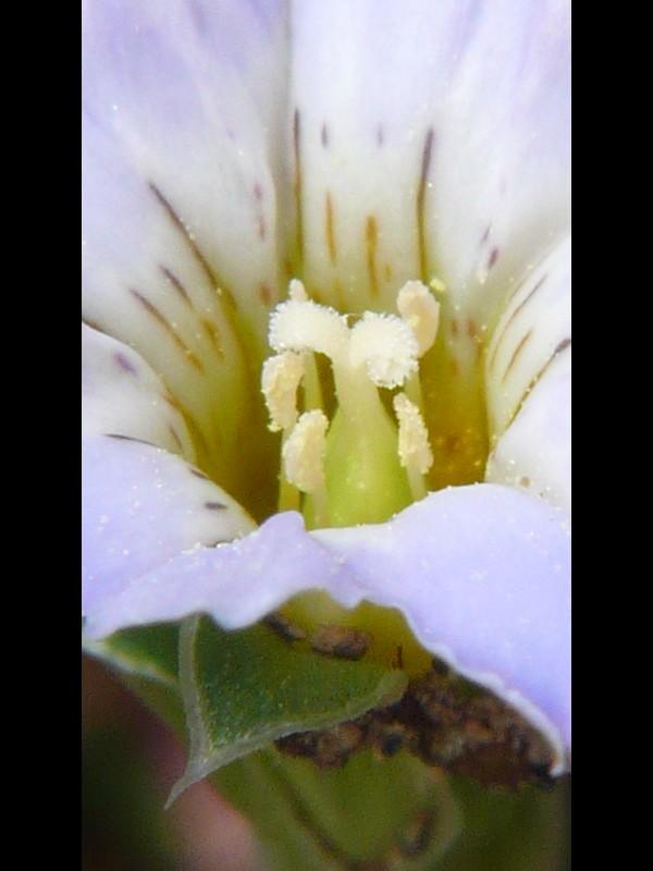 コケリンドウ 花のシベ3