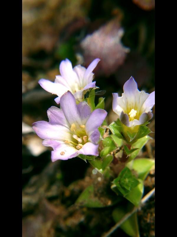コケリンドウ 花