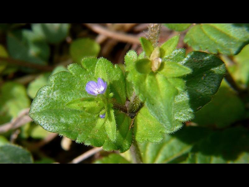 タチイヌノフグリ 葉