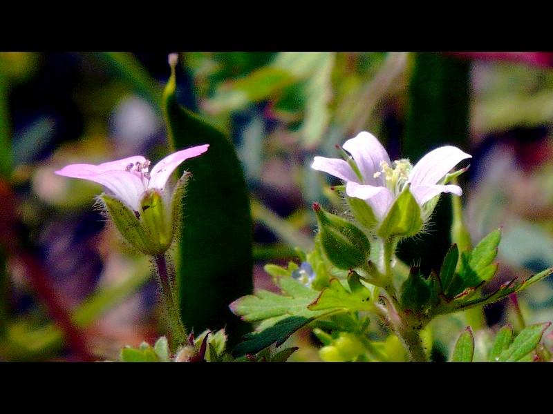 マルバフウロ アメリカフウロ 花横比較