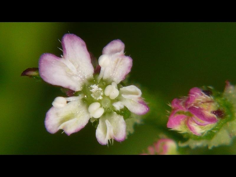 オヤブジラミ 花