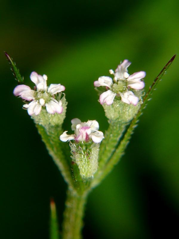 オヤブジラミ 小花序