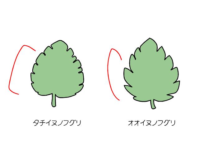 タチイヌノフグリとオオイヌノフグリの葉