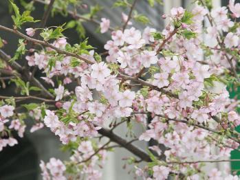 桜舞い散る季節に。