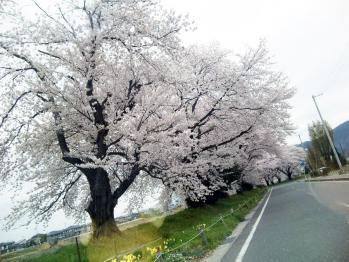 福島の桜。
