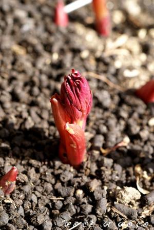 シャクヤクの芽