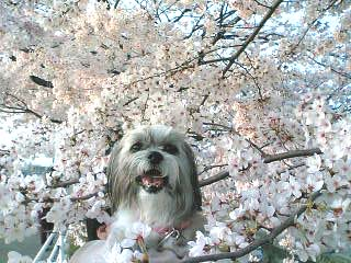sakura-coron.jpg