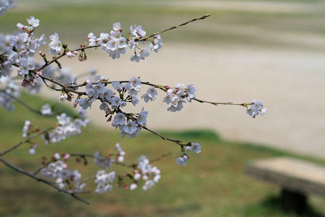 境港 お台場 鬼太郎 水木しげるロード サクラ 桜