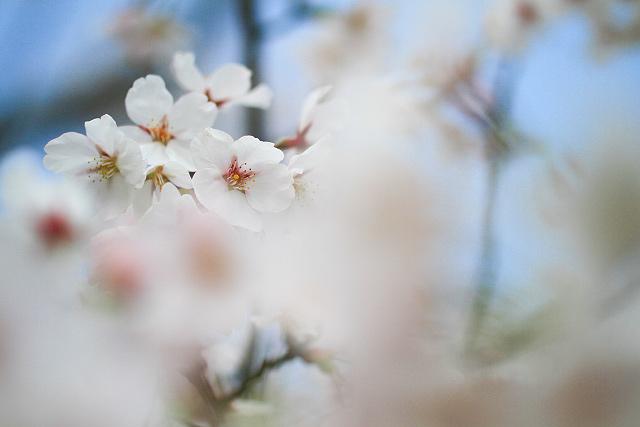 米子鬼太郎空港前公園~桜満開