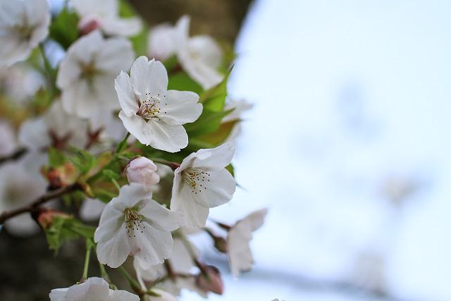 伯耆古代の丘公園 桜 菜の花 ポタリング 淀江
