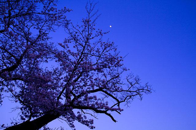 大山 夜桜 岡成池 米子市