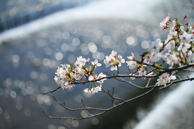 西伯町法勝寺川沿い桜並木
