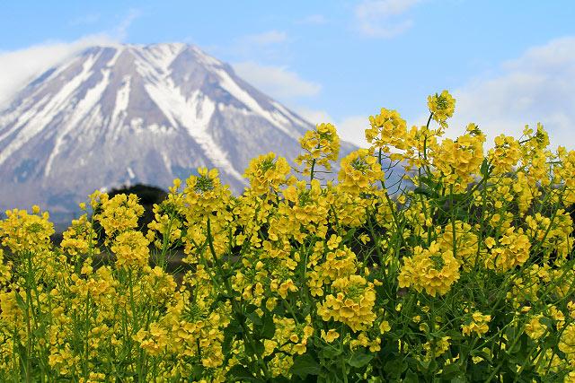 溝口からの菜の花と大山