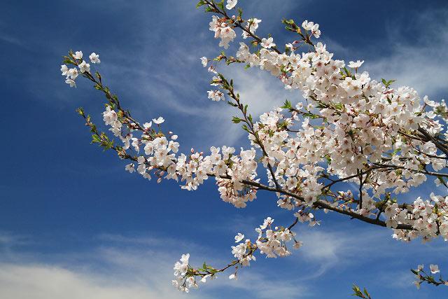 赤井手~岸本 菜の花・桜ポタ