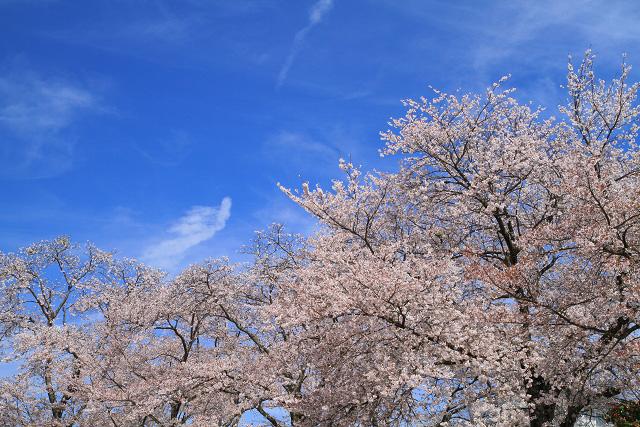 伯耆町番原公園 桜