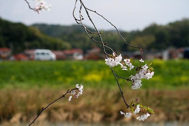 伯太川 ポタリング 菜の花 桜