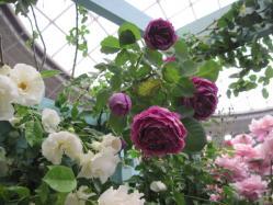 赤紫のバラ