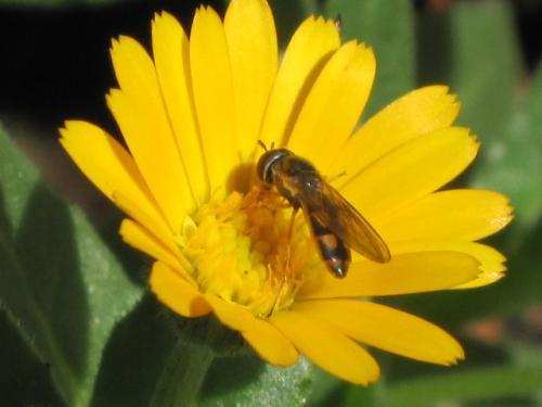 カレンジュラにとまったミツバチ