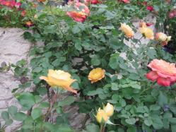 バラの色合わせ