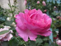 ピンクのフリル咲き