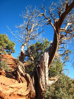 エアポートメサねじれた木