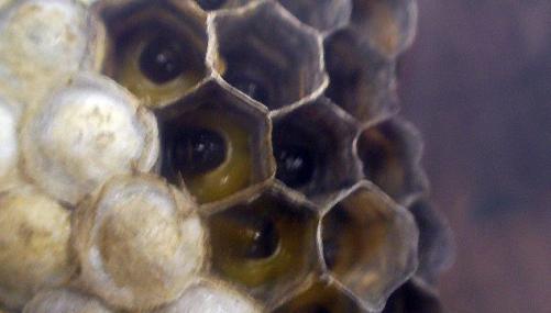蜂の巣2009-08-03003