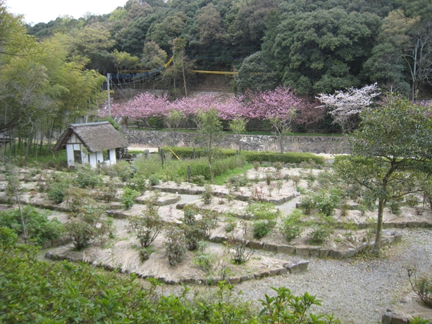 ほたる見公園のぼたん桜