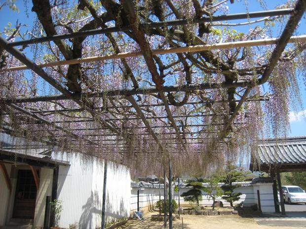 萬福寺の藤