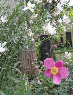 白蝶草と秋明菊