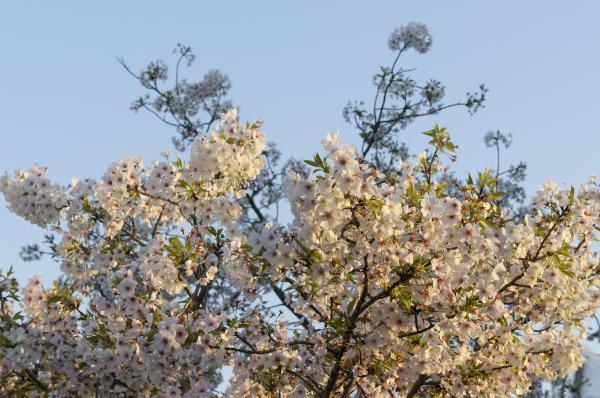 平成さくら通りの桜