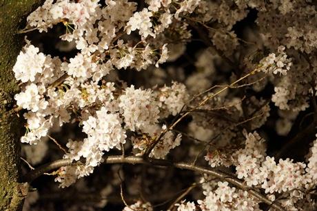 夜桜'12