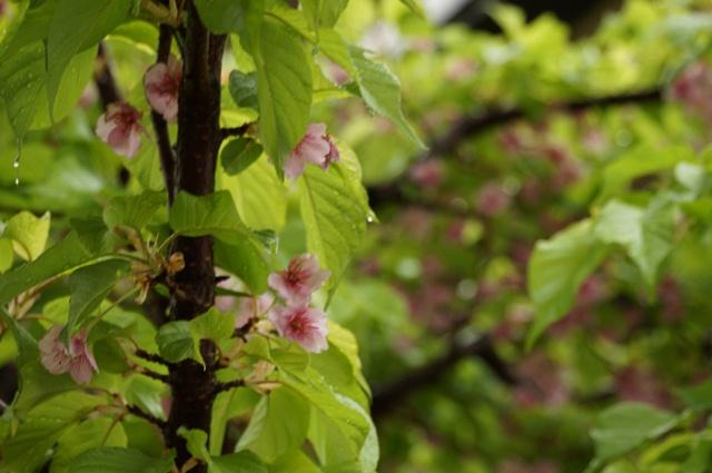 葉桜になった河津桜
