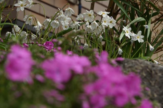 芝さくらと白い花
