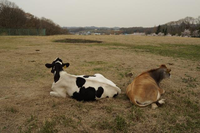 ここは八王子、小比企。牧場と牛と桜と丘陵