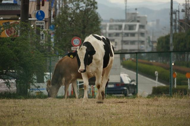 牛さんの背後は、都会