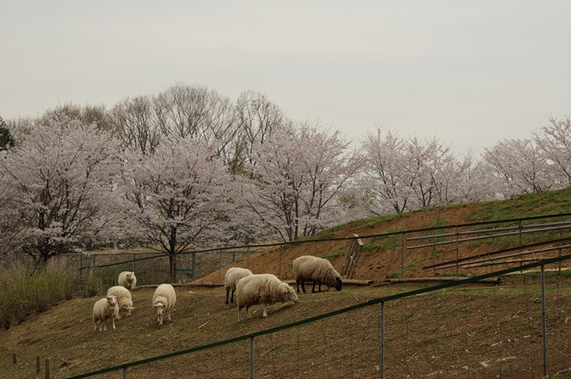 羊さんと桜
