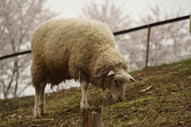 羊さんと桜の咲いた桜
