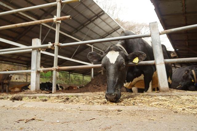 磯沼牧場の牛さん