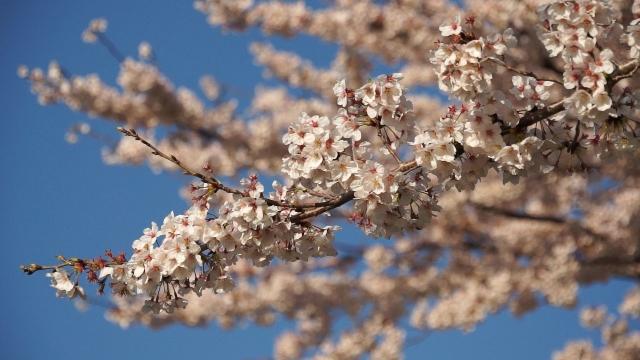 府中の桜'12