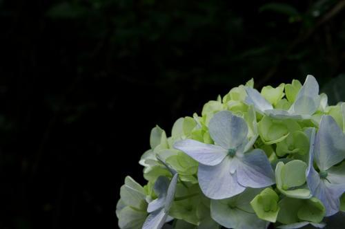 4紫陽花IMGP3454