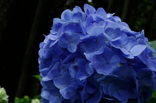 6紫陽花IMGP3472